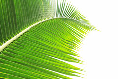 Green coconut leaf on white background Stock Photo