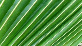Green Coconut leaves Royalty Free Stock Image
