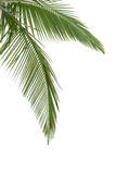 Green coconut leaves Royalty Free Stock Images