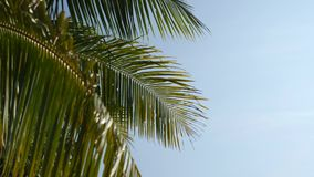 Green Coconut Palm Against Blue Sky Tropical Background. 4K. Thailand. Green Coconut Palm Against Blue Sky Tropical Background. 4K. Thailand stock video footage