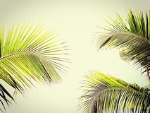 Green coconut palm fronds royalty free stock image