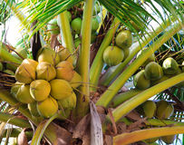 Green coconut at palm tree. Green coconut at coconut palm tree Stock Photos