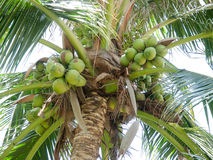 Green coconut Stock Photography