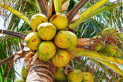Green coconut at palm tree Stock Photo