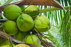 Green coconut at palm tree Stock Images
