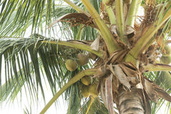 Green coconut at palm tree. Royalty Free Stock Images