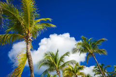 Green coconut palm trees on dark blue sky with white clouds. Pho Royalty Free Stock Photography