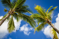 Green coconut palm trees on dark blue sky with white clouds. Pho Royalty Free Stock Images