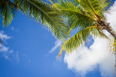 Green coconut palm trees on dark blue sky with white clouds. Pho Stock Photos