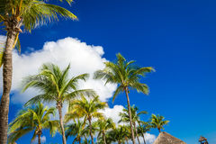 Green coconut palm trees on dark blue sky with white clouds. Pho Royalty Free Stock Photos