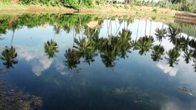 Green Coconut Palm trees reflected in water in pond lake.  stock video