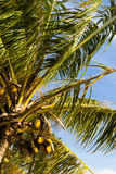 Green coconut palms against blue sky Stock Images