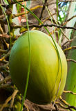 Green coconut on a tree Stock Photography