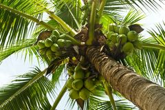 Green coconut tree Royalty Free Stock Photos