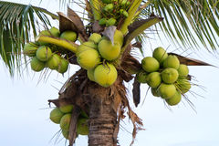 Green coconut at tree Stock Photos
