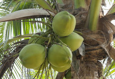 Green coconut Stock Photo