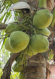Green coconut Royalty Free Stock Image