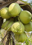 Green coconut. On the tree Stock Image
