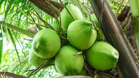 Green coconut. On the coconut tree Royalty Free Stock Images