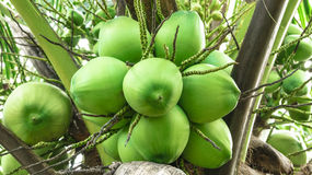 Green coconut. On the coconut tree Stock Images
