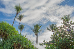 Green coconut tree with blue sky background. Stock Images