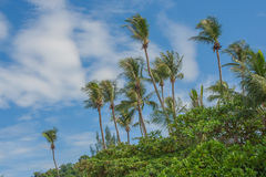 Green coconut tree with blue sky background. Royalty Free Stock Images
