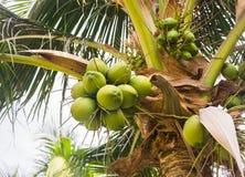 Green coconut at tree Royalty Free Stock Photos
