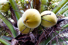 Green coconut at tree Royalty Free Stock Photography