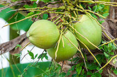 Green coconut at tree Royalty Free Stock Image