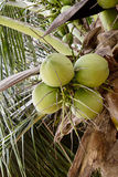 Green coconut tree. Coconut tree with fruits hanging on Royalty Free Stock Photo