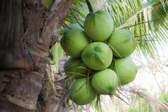Green coconut at tree Stock Photos