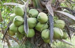 Green coconut Stock Photo
