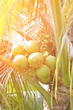 Green coconut at tree. Image of green coconut at tree Royalty Free Stock Photography