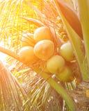 Green coconut at tree. Image of green coconut at tree Stock Photos