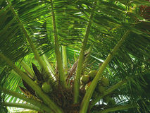 Green coconut tree in India bottom view. Goa Stock Image