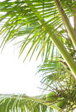 Coconut leafs Stock Images