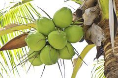 Green coconut at tree Stock Photo