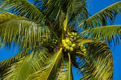 Green coconut on the tree Stock Images