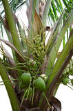 Green Coconut on tree. Small Green Coconut on tree or Cocos nucifera Royalty Free Stock Photo