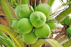 Green coconut. At tree from Thailand Royalty Free Stock Photo