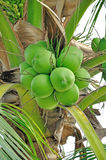 Green coconut Stock Image