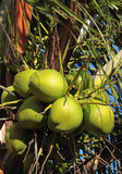 Green Coconuts. Bunch of green coconuts on the palm tree, Alagoas state, Brazil Stock Photo