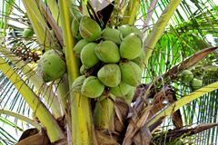 Green Coconuts. Unripened coconuts on top of a palm tree Royalty Free Stock Photo