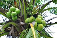 Green coconuts Stock Photo