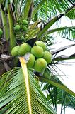 Green coconuts Royalty Free Stock Photo