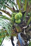 Green coconuts Stock Photography