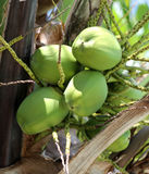 Green coconuts. Green coconut photographed close up on a palm tree Royalty Free Stock Photography