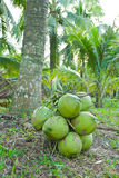 Green coconuts fruit Royalty Free Stock Photography