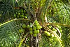 Green coconuts growing on a palm Stock Photography