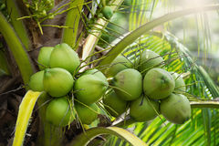 Green coconuts hanging on tree. Fresh coconut bunchy on palm tree Stock Photos